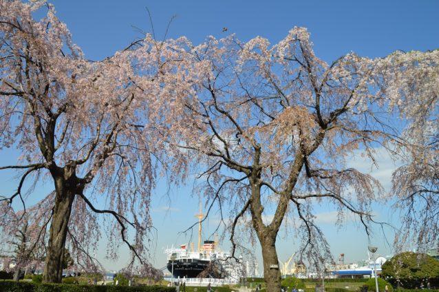 お花見スポットとして人気の高い山下公園の桜